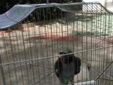 手养亲人大绯胸鹦鹉,刚断奶。大体型