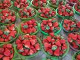 北京密云草莓采摘园