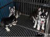 出售纯种哈士奇幼犬/纯种健康/疫苗齐全/可签协议