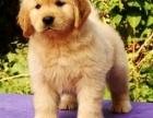 天津出售纯种血统赛级金毛犬幼犬金毛巡回导盲犬金毛活体宠物狗狗