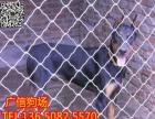 珠海哪里有卖杜宾犬 珠海到哪里买杜宾犬比较保障