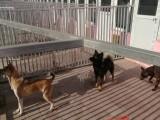 花园桥宠物寄养猫猫狗狗 散养单间独院寄养托管 春节预定中