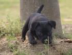 出售纯种火梗幼犬