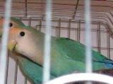 极品牡丹鹦鹉绿金顶