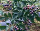 王婆岩老错蓝莓采摘1-2日游