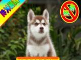 北京买哈士奇犬—终身质保随时可送货上门—专业种公借配