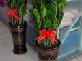 办公室绿植租摆花木花卉出售