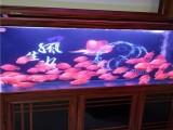 杭州出售品相好的锦鲤鱼