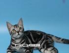 NO1 美国短毛猫 标准银色虎版