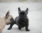 自家大狗生了一窝法国斗牛犬可以上门看狗父母