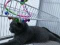 出售自家养殖的英短蓝白猫,蓝猫