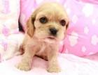 南宁 出售纯种英国可卡美国大耳朵可卡犬幼犬活体犬