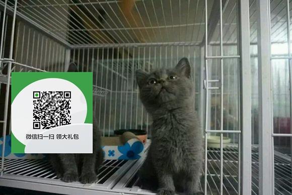 楚雄在哪里卖健康纯种宠物猫 楚雄哪里出售蓝猫