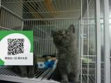 南通哪里卖蓝猫便宜 南通哪里卖蓝猫 南通哪里买蓝猫