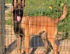 赛级马犬出售 双血统带证书,疫苗驱虫已做完,保健康