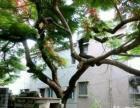 百年金凤树,多姿树头绿化,大型摆设