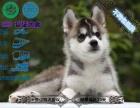 家养纯种哈士奇幼犬出售 可送货可上门,赠送狗用品