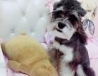 犬舍直销优质 雪纳瑞犬 已打针驱虫 信誉保证