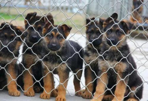本场出售纯种牧羊犬 幼犬 品质好 血统保证