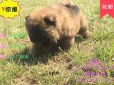 买高品质松狮 保健康纯种 签售后协议 基地直销
