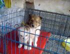 cku注册五星级犬舍 双血统苏格兰牧羊犬可上门挑选