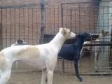 全活格力犬灵缇犬惠比特赛道犬 纯野兔出售