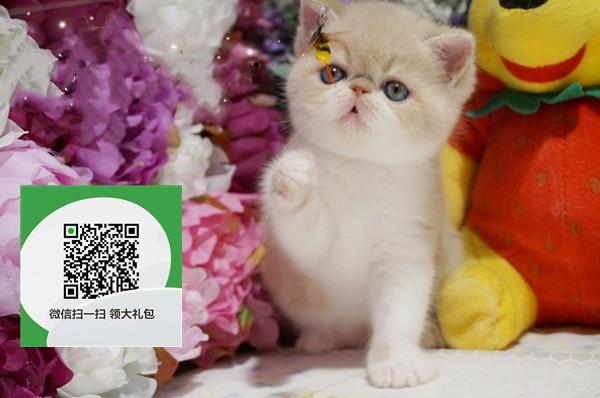 镇江哪里开猫舍卖加菲猫 去哪里可以买得到纯种加菲猫