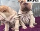 精品沙皮幼犬 高端赛级大毛量 双血 包活 带证