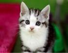 傲娇萌猫纯种美短猫 美短渐层蓝白折耳宠物猫活体幼体