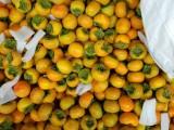 山西运城阳丰甜脆柿子价格,山西运城柿子代收