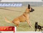 优质健康血统小马犬价格多少,哪里出售血统马犬,怎么训练马犬