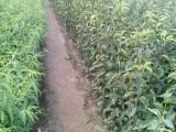 泰安梨树苗种植基地,1公分梨树苗价格
