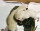 孟加拉豹猫(和雪豹)幼仔