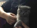 猫叔名猫宛——家庭繁殖饲养蓝猫折耳、渐层折耳包健康