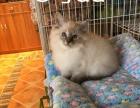 实体店出售布偶猫 火焰色 山猫色