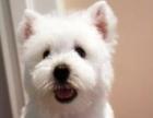 永盛犬业十多年的繁殖经验 纯种西高地犬 同城免费送狗