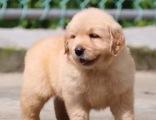 高品质聪明活波大头金毛犬个个都是大头骨架的