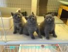 宁波哪里有蓝猫卖 蠢萌型 健康无廯送货上门 支持空运