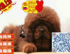 藏獒多少钱 哪里有卖藏獒的