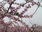 徐州丰县首羡镇有大量桃子即将上市,求收购商合作
