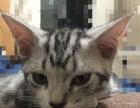 美短 虎斑猫 已断奶 猫粮会吃 猫砂会用