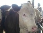山西祁县大型肉牛养殖场西门塔尔牛