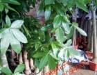 天津大港花卉租摆绿植销售绿植养护服务公司海明花卉全城配送送货