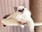乌鲁木齐哪里有卖布偶猫幼崽 乌鲁木齐较便宜布偶猫多少钱一只