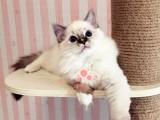 昆明哪里有卖布偶猫的最便宜多少钱一只