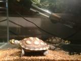 黄头龟 背甲10~12Cm 全品 1只 包邮
