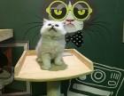 广州金吉拉怎么卖的广州最好的金吉拉要多少钱广州哪里有猫舍