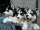 华中最大犬舍直销泰迪博美哈士奇金毛萨摩秋田德牧阿拉等各种名犬