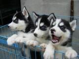 昆明犬舍直销哈士奇,拉布拉多,萨摩,博美等名犬,批发价出售