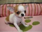 犬舍出售吉娃娃幼犬 公母都有 包邮